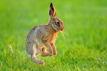 European hare (Lepus europaeus) leveret jumping, Essex, UK, June