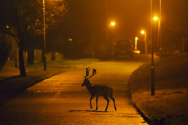 Fallow deer (Dama dama) buck crossing road under street lights. London, UK. January.