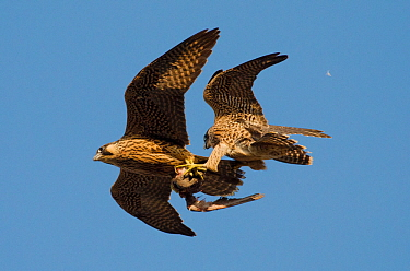 Peregrine falcons (Falco peregrinus), juvenile female and male in flight, fighting over prey. Bristol, UK. June.