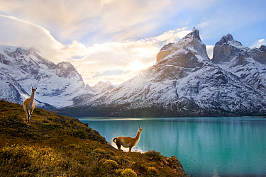 Two Guanacos (Lama guanicoe) at edge of lake with Cuernos del Paine beyond. Torres del Paine National Park, Chile, June 2014.