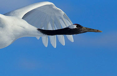 Red-crowned Crane (Grus japonensis) in flight, Hokkaido, Japan, February