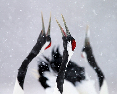 Red-crowned Cranes (Grus japonensis) displaying and calling in snow, Hokkaido, Japan, February