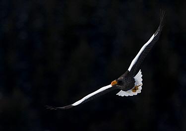 Steller's Eagle (Haliaeteus pelagicus) flying, with black background, Hokkaido, Japan, February