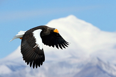Steller's Eagle (Haliaeteus pelagicus) flying past snowy mountain peak, Hokkaido, Japan, February
