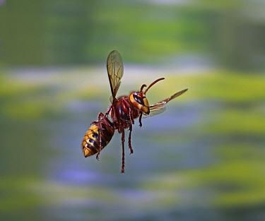 European hornet (Vespa crabro) worker in flight, Surrey, England, August.
