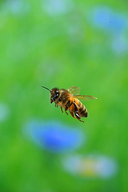 Honey bee (Apis mellifera) in flight, Surrey, England, July.