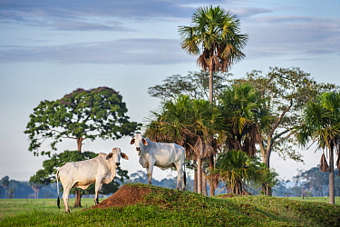 Zebu Cattle (Bos primigenius indicus), Los Llanos, Colombia, South America.