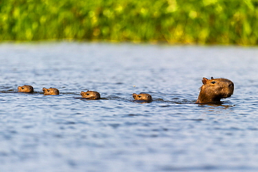Female Capybara (Hydrochoerus hydrochaeris) swimming in line with young after escaping a Jaguar attack (Panthera onca palustris) in a lagoon off the Paraguay River. Taiama Ecological Reserve, Pantanal...