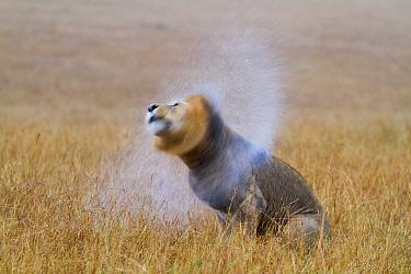 African lion (Panthera leo) male shaking water off mane after rain, Masai-Mara Game Reserve, Kenya. September.