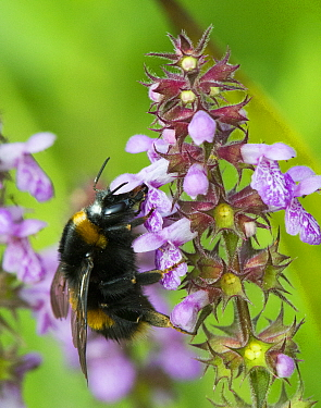 Buff tailed bumble bee (Bombus terrestris) on Marsh Woundwort  (Stachys palustris) North Wales, UK, July.