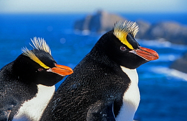 Erect-crested penguins (Eudyptes sclateri) pair on coast, Proclamation Island, Bounty Islands, New Zealand Sub-Antarctic Islands. Endemic to Antipodes and Bounty Islands. Endangered species.