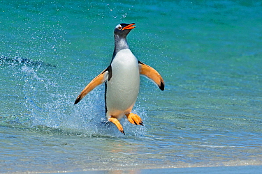 Gentoo penguin (Pygoscelis papua) jumping onto beach, Carcass Island, Falkland Islands.