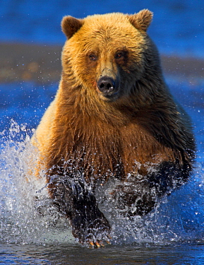 Grizzly bear (Ursus arctos horribilis) charging through river chasing salmon, Alaska, USA. Crop of 01500299.