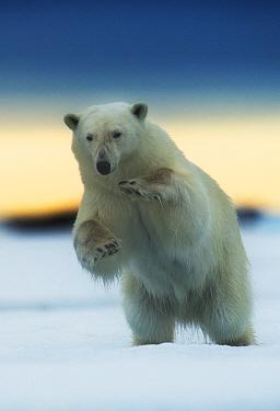 Polar bear (Ursus maritimus) pouncing, Svalbard, Norway, July.