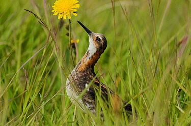 Red-necked phalarope (Phalaropus lobatus) in long grass looking at insects on flower, Iceland, July.