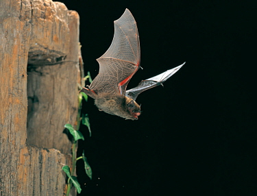 Common pipistrelle (Pipistrellus pipistrellus) in flight, leaving a hole. Controlled conditions.