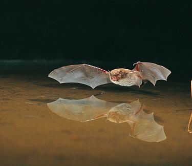 Daubenton's bat (Myotis daubentoni) in flight over water. Controlled conditions.