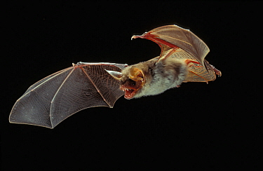 Greater mouse-eared bat (Myotis myotis) in flight with mouth open. Controlled conditions.