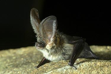 Grey long-eared bat (Plecotus austriacus). Controlled conditions