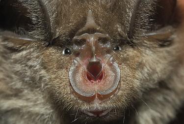 Close-up of a Greater horseshoe bat (Rhinolophus ferrumequinum). Controlled conditions.