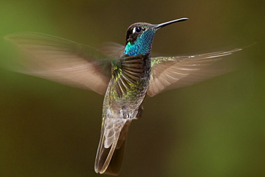 Magnificent hummingbird (Eugenes fulgens) male, flying, Milpa Alta forest, Mexico, May