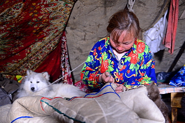Nenet woman sewing coat (malitsa) made with reindeer skin and fur, inside tent with pet dog. Yar-Sale district. Yamal, Northwest Siberia, Russia. April  2016.