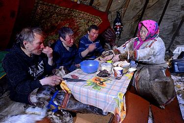 Nenet reindeer herders eating raw reindeer meat and tea in reindeer skin tent. Yar-Sale district, Yamal, Northwest Siberia, Russia. April 2016.