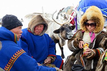 "Pet reindeer ""akva"" (Rangifer tarandus) with Nenet herders resting before spring migration. Yar-Sale district, Yamal, Northwest Siberia, Russia. April 2016."