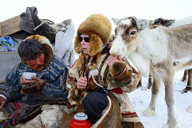 Nenet woman feeding avka, pet reindeer calf (Rangifer tarandus) in Yar-Sale district, Yamal, Northwest Siberia, Russia. April 2016.