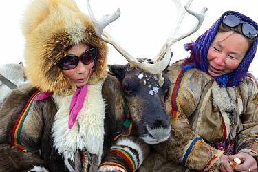 "Nenet women with pet reindeer ""akva"" (Rangifer tarandus) in Yar-Sale district, Yamal, Northwest Siberia, Russia. April 2016."
