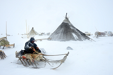 Nenet herder fixing sled at camp in blizzard. Yar-Sale district, Yamal, Northwest Siberia, Russia. April 2016.