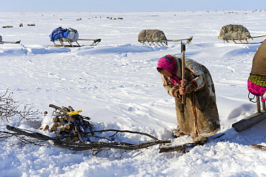 Nenet woman chopping willow (Salix genus) at camp for firewood. Yar-Sale district. Yamal, Northwest Siberia, Russia. April  2016.