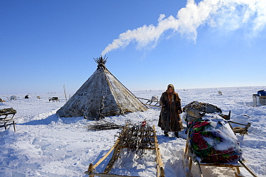 Nenet woman looking for willow (Salix genus) used as firewood at camp on tundra. Yar-Sale district. Yamal, Northwest Siberia, Russia. April 2016.