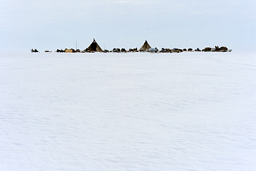 Nenet Reindeer herder's camp with tents on tundra. Yar-Sale district, Yamal, Northwest Siberia, Russia. April 2016.