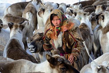 Ekaterina Yaptik, a Nenet herder selecting draught Reindeer (Rangifer tarandus) from corral. Yar-Sale district, Yamal, Northwest Siberia, Russia. April 2016.