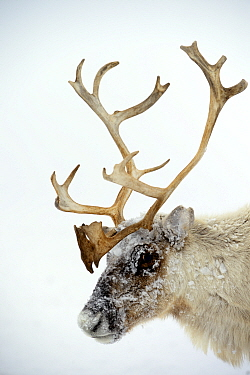Head portrait of ice covered Reindeer (Rangifer tarandus) during storm. Yar-Sale district, Yamal, Northwest Siberia, Russia. April.