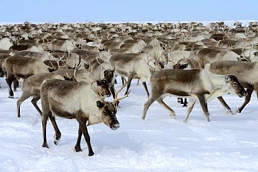 Reindeer (Rangifer tarandus) herd in spring. Yar-Sale district, Yamal, Northwest Siberia, Russia. April.