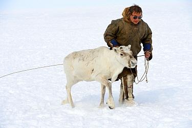 Nenet herder with Reindeer (Rangifer tarandus) in Yar-Sale district, Yamal, Northwest Siberia, Russia. April 2016.
