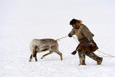 Nenet herder controlling Reindeer (Rangifer tarandus) on lasso. Yar-Sale district, Yamal, Northwest Siberia, Russia. April 2016.