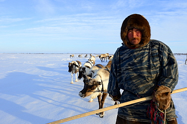 Sergue Chorolya, Nenet herder leading Reindeer (Rangifer tarandus) sleds on spring migration across tundra. Yar-Sale district, Yamal, Northwest Siberia, Russia. April 2016.