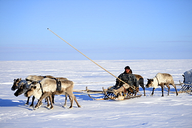 Nenet herder driving Reindeer (Rangifer tarandus) sleds on spring migration across tundra. Yar-Sale district, Yamal, Northwest Siberia, Russia. April 2016.