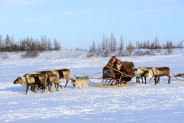 Nenet woman herds Reindeer (Rangifer tarandus) sleds across tundra with her dog. Yar-Sale district, Yamal, Northwest Siberia, Russia. April 2016.