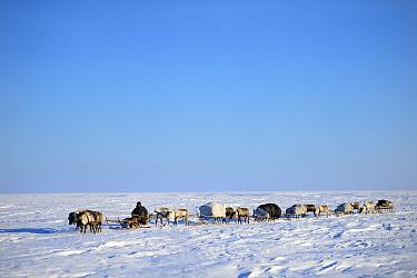 Nenet herder drives Reindeer (Rangifer tarandus) sleds on spring migration across tundra. Yar-Sale district, Yamal, Northwest Siberia, Russia. April 2016.