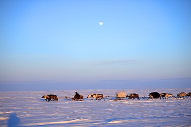 Nenet herder drives Reindeer (Rangifer tarandus) sleds on  spring migration across tundra, Yar-Sale district, Yamal, Northwest Siberia, Russia. April 2016.
