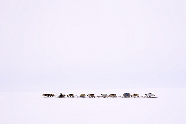 Nenet herder drives Reindeer (Rangifer tarandus) sleds on spring migration across tundra. Yar-Sale district, Yamal, Northwest Siberia, Russia. April 2016.