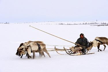Sergue Chorolya, Nenet herder drives Reindeer (Rangifer tarandus) sled on spring migration across tundra. Yar-Sale district, Yamal, Northwest Siberia, Russia. April 2016.