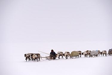 Sergue Chorolya, Nenet herder drives Reindeer (Rangifer tarandus) sleds on spring migration across tundra. Yar-Sale district, Yamal, Northwest Siberia, Russia. April 2016.