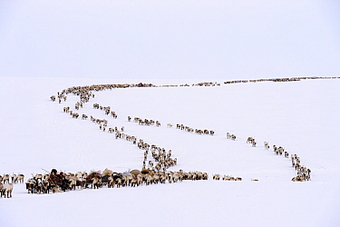 Nenet herders travel by Reindeer (Rangifer tarandus) sled on spring migration across tundra. Yar-Sale district, Yamal, Northwest Siberia, Russia. April 2016.