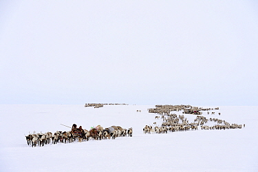 Nenet herders travel by Reindeer (Rangifer tarandus) on  spring migration across tundra. Yar-Sale district, Yamal, Northwest Siberia, Russia, April 2016.