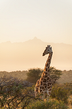 Reticulated Giraffe (Giraffa camelopardalis reticulata) standing in shrubland. Laikipia, Kenya. February.